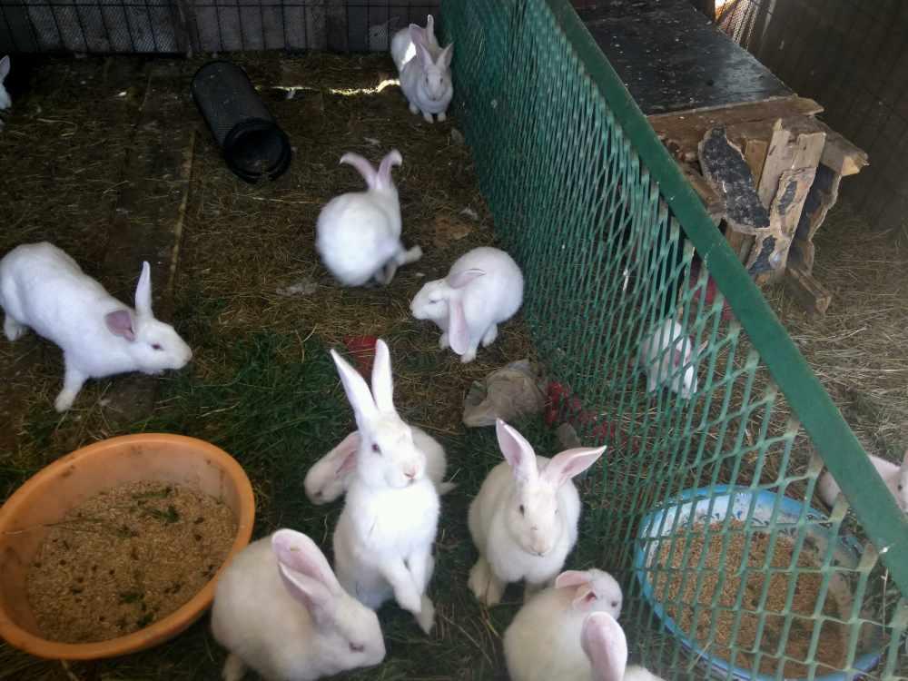 给兔子喂蔬菜也是需要技术的
