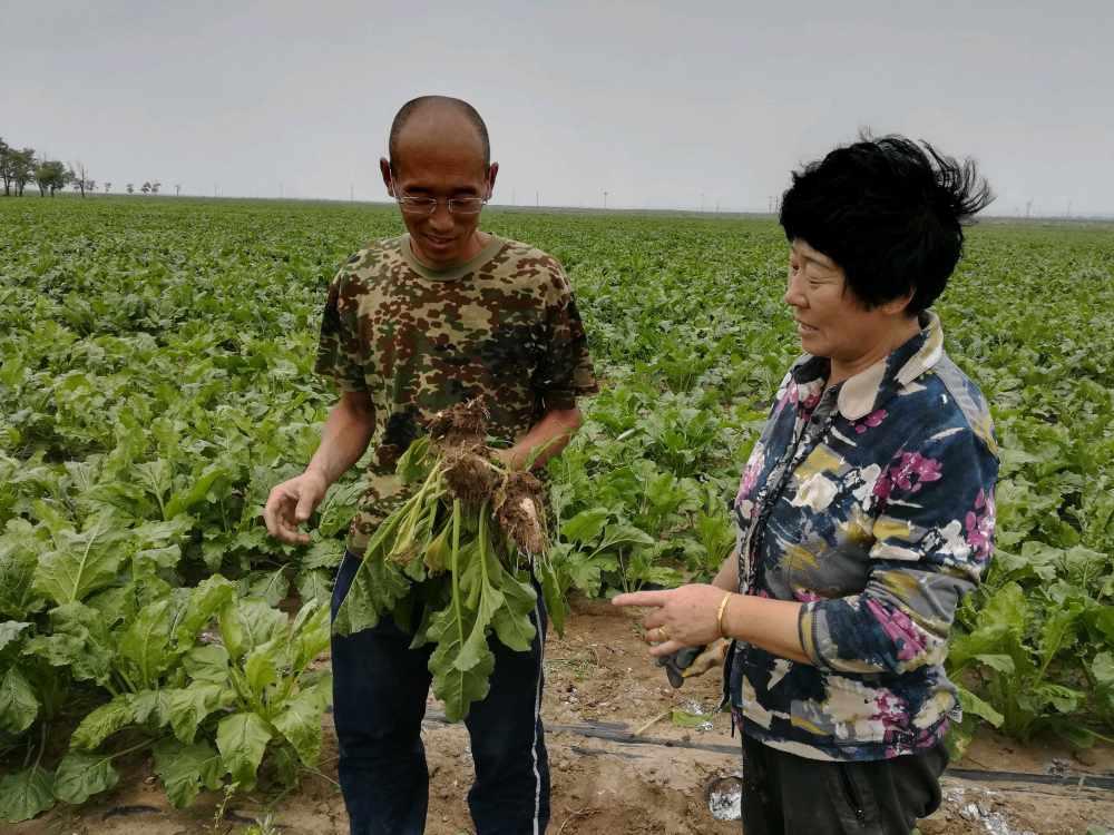 小孟100亩甜菜30%发生根腐病