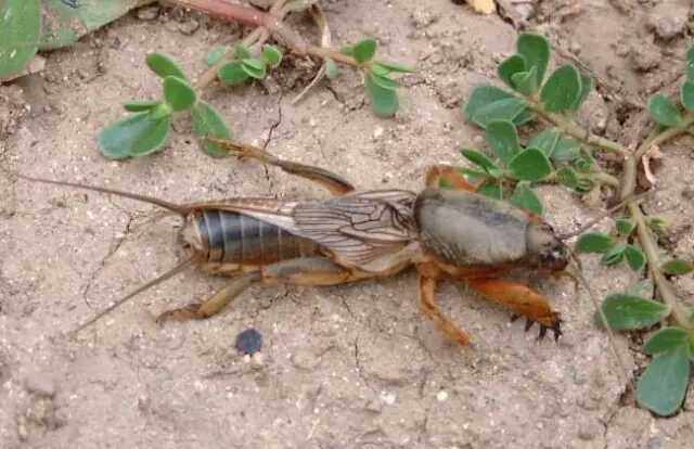 地下害虫为害很大,可是你真的认识它们吗?