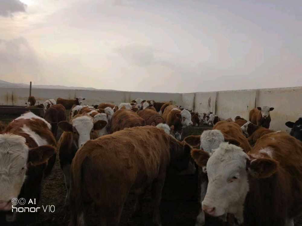 化德县明盛肉牛养殖专业合作社