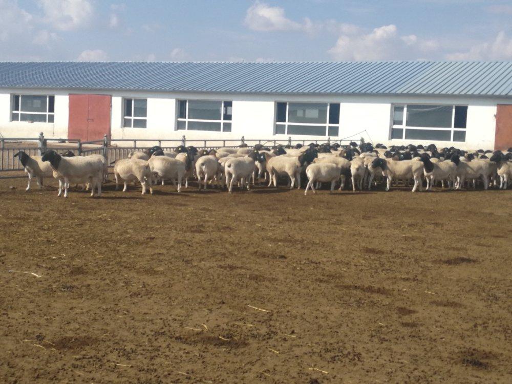 规模化羊场怎么管理