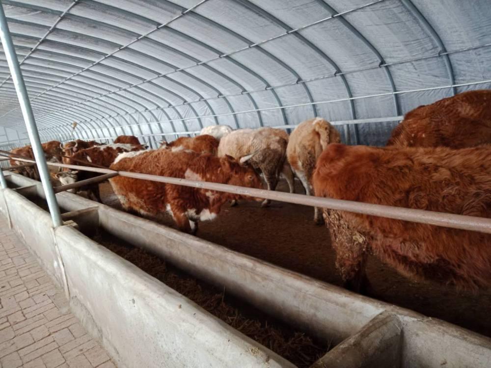 兴和县牛场卖牛