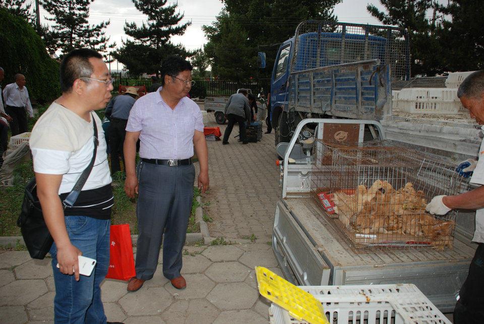 京蒙科技帮扶 北京油鸡发放----打造产业品牌  助推产业扶贫