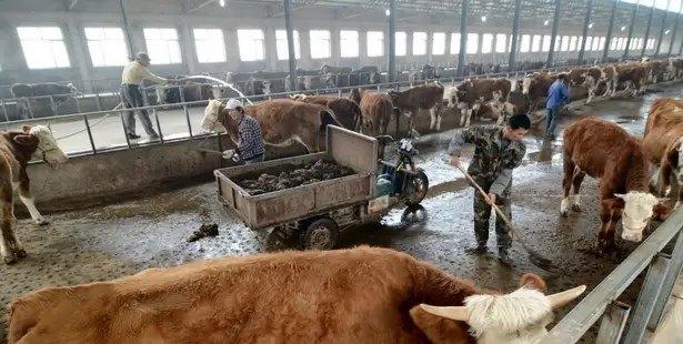 一个人可以养多少牛?