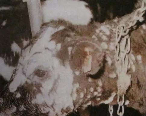 牛毛癣菌病的临床症状与防治经验