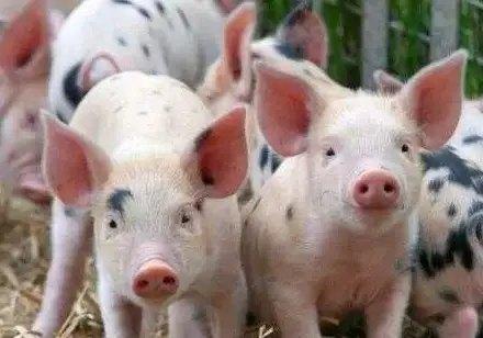 仔猪断奶后怎么喂?仔猪开食饲料的管理方法