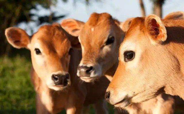 犊牛大肠杆菌病的诊治