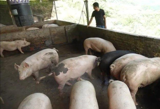 猪病治疗过程中常见的三个误区