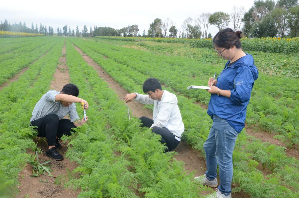胡萝卜应用抗重茬微生态制剂效果