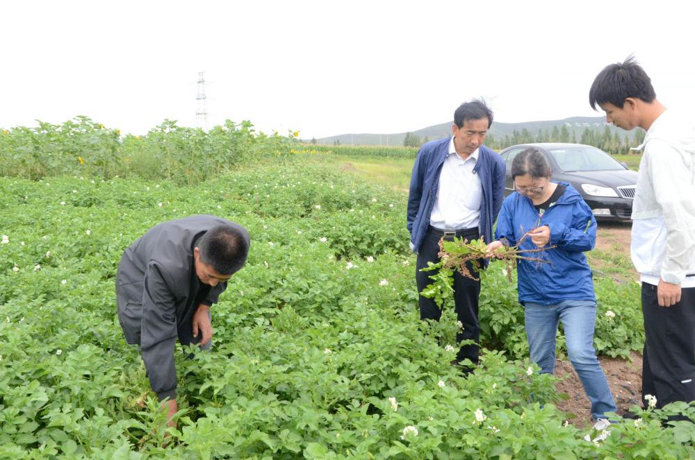 马铃薯应用抗重茬微生态制剂示范田
