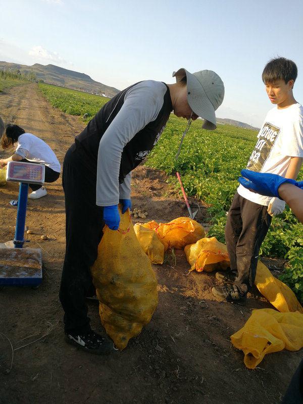 马铃薯施用植物微生态制剂