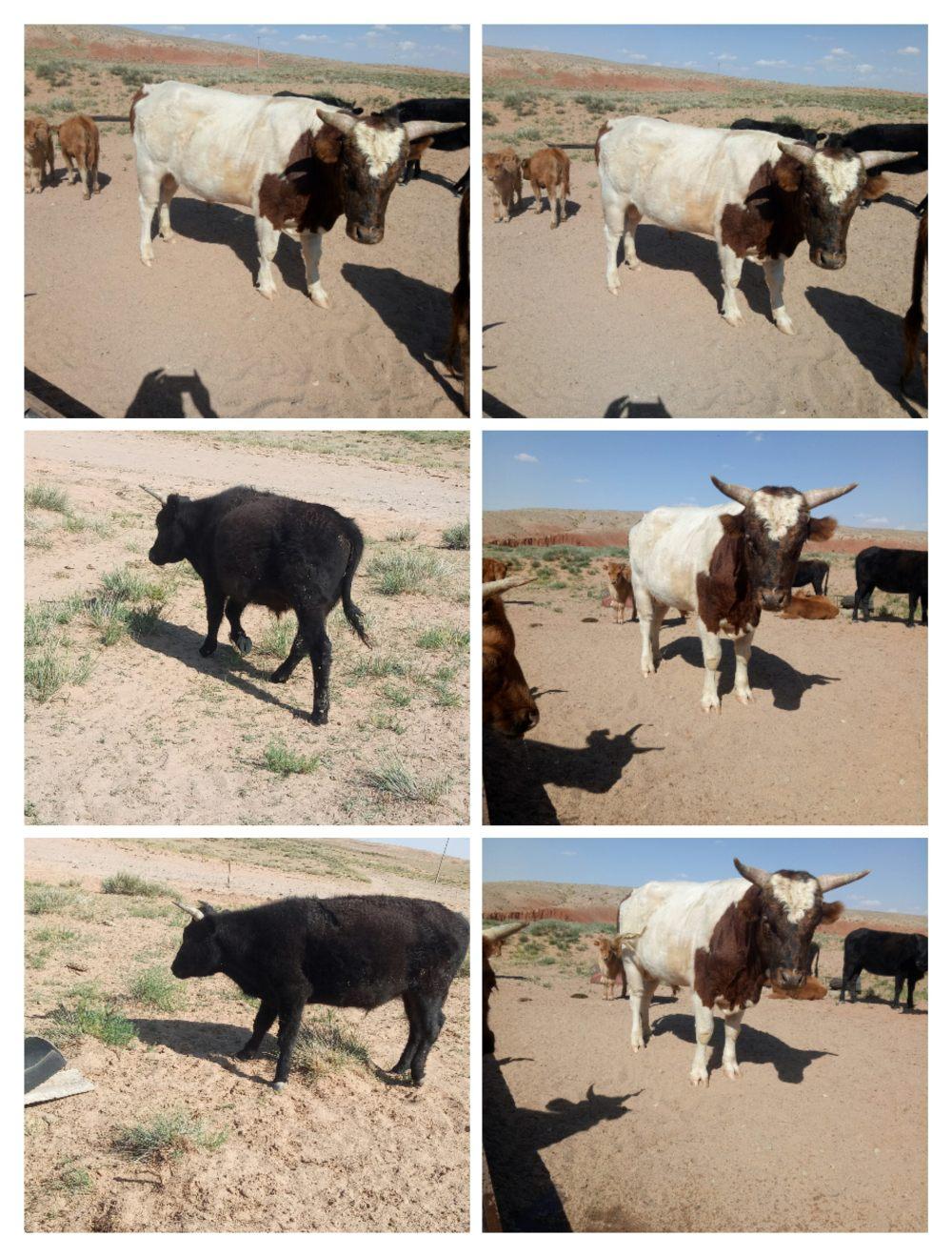 出售两个公牛