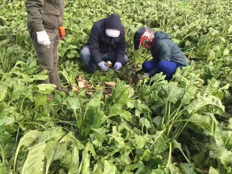 额尔古纳市科技特派员在甜菜试验田测产