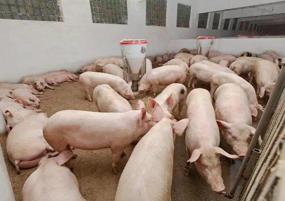 母猪各阶段如何饲喂
