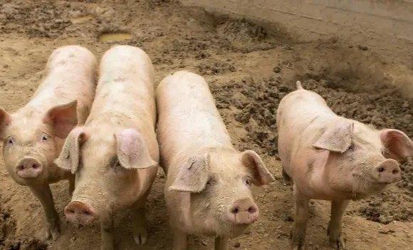 提高商品肥育猪的出栏率的几个管理技巧