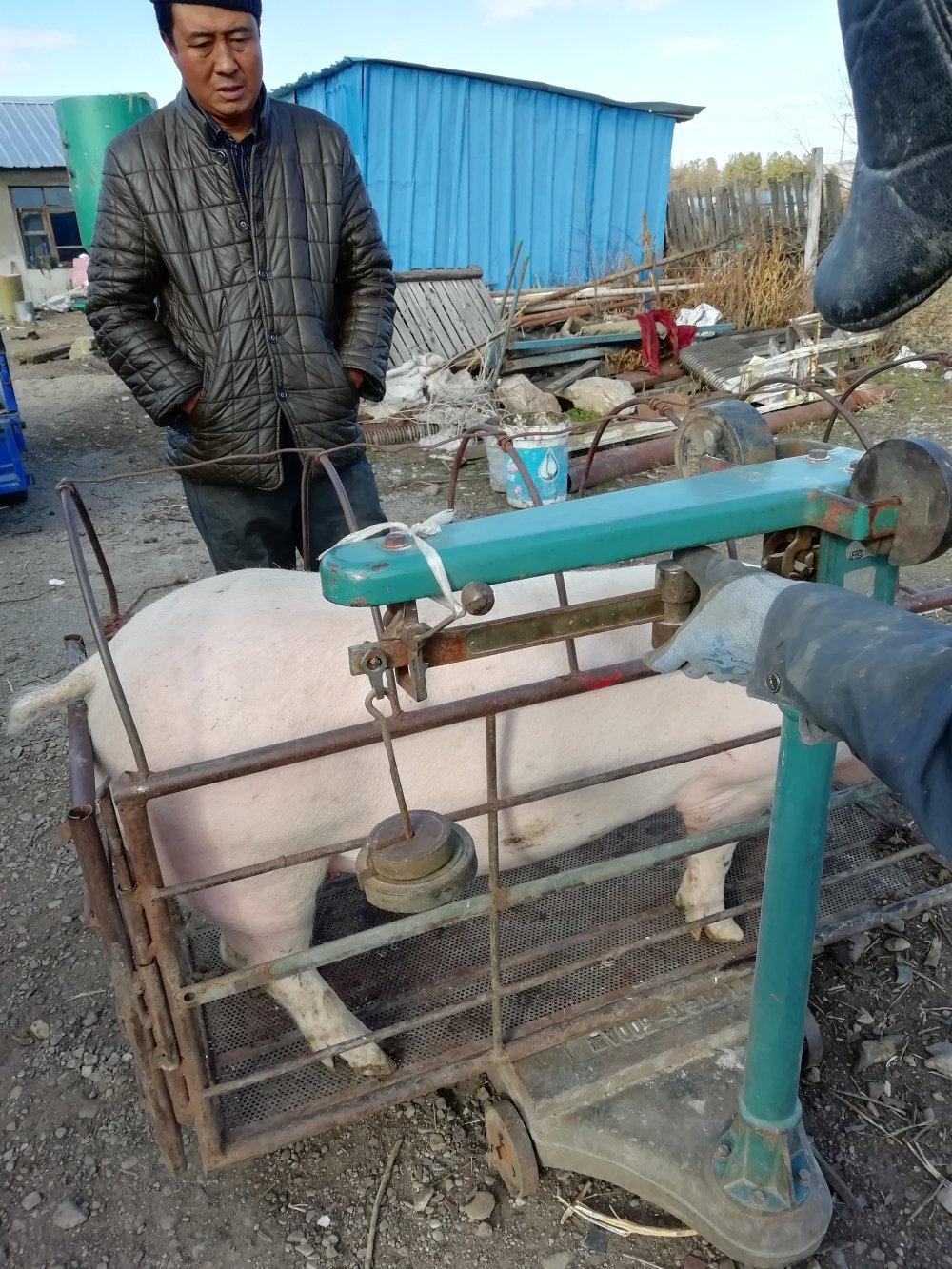 帮助低保户卖猪,卖出好价。