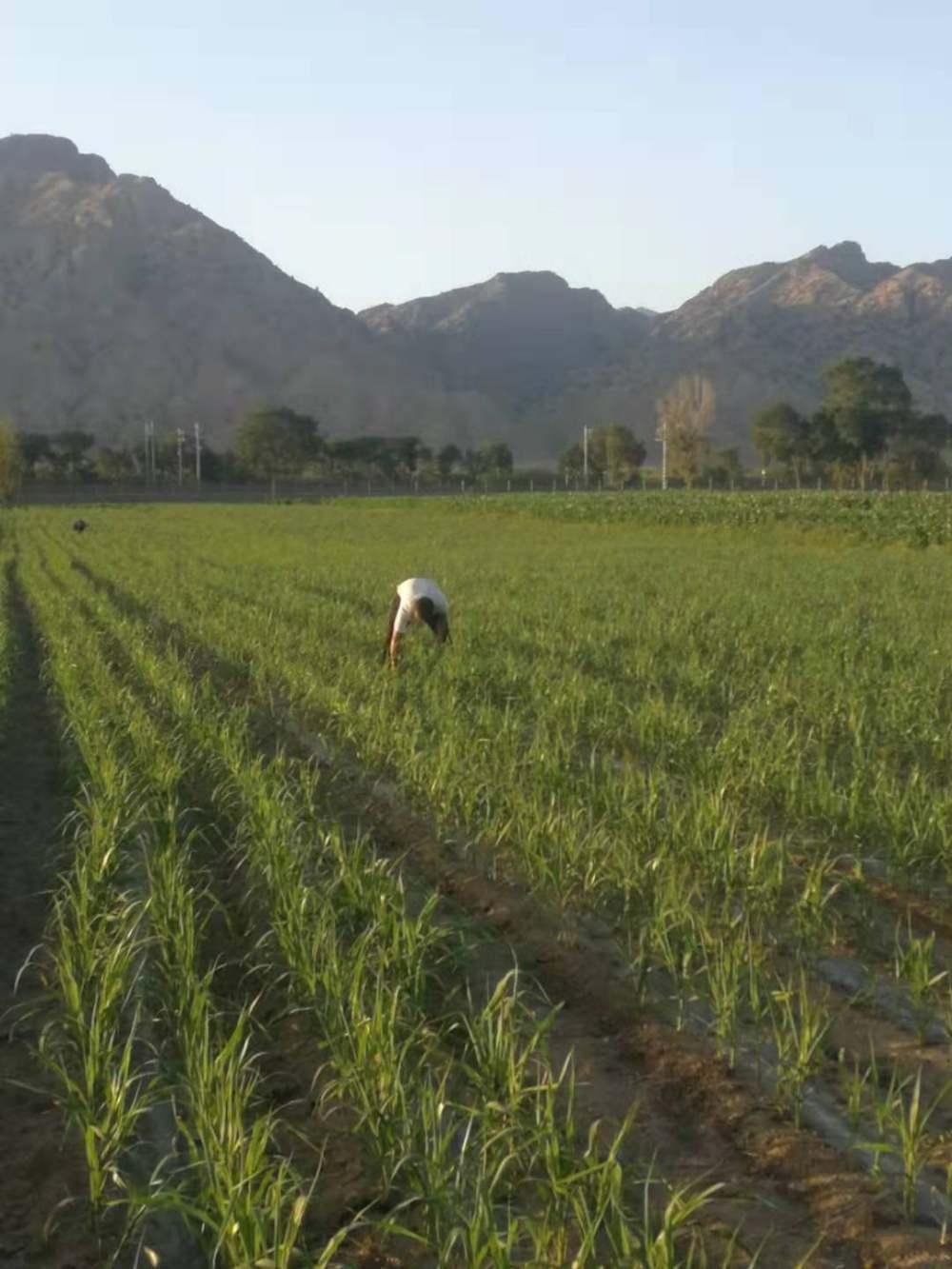 不施化肥人工拔草的小香米