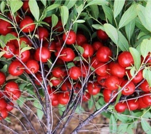 钙果苗、新品种钙果苗、农大钙果苗、荒沙治理钙果苗供应商