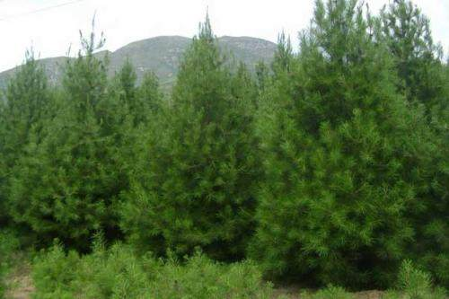 白皮松苗圃、优质白皮松基地、批发1-6米白皮松