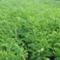 供应紫穗槐、0.5公分紫穗槐、北方紫穗槐种植产业园