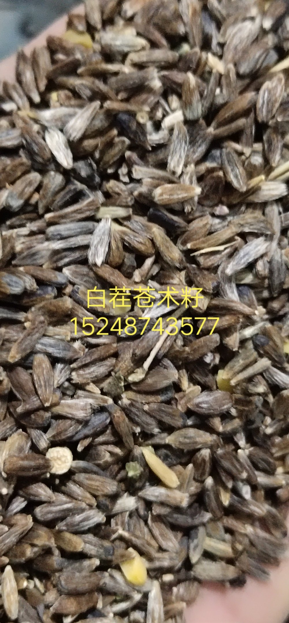 出售麻叶返魂草籽,苍术籽,赤芍籽