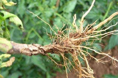 番茄茎基腐病的发生与防治