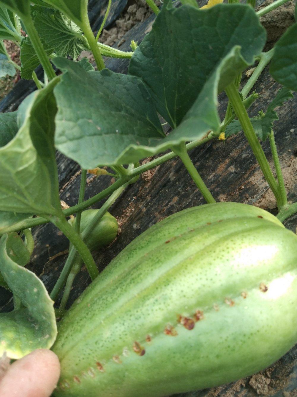香瓜出现这种现象啥原因?