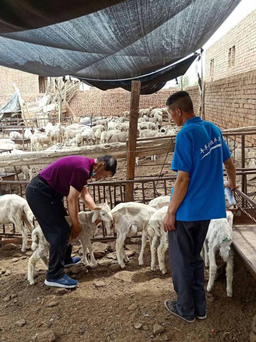 整群羊食欲差倒嚼少死亡多的病因调查