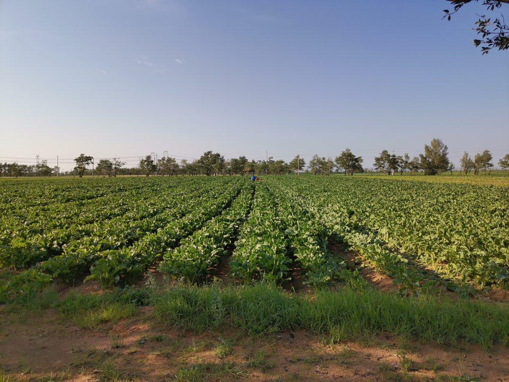 甜菜、马铃薯应用科腾生物助剂示范