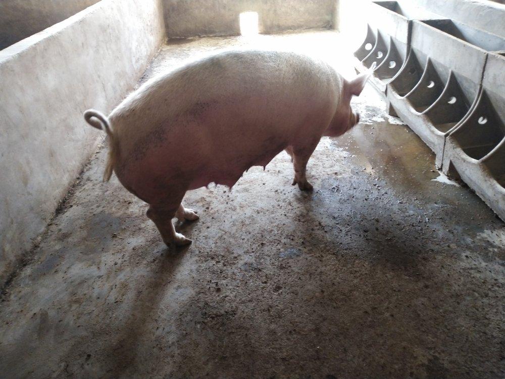 求购刚产仔猪