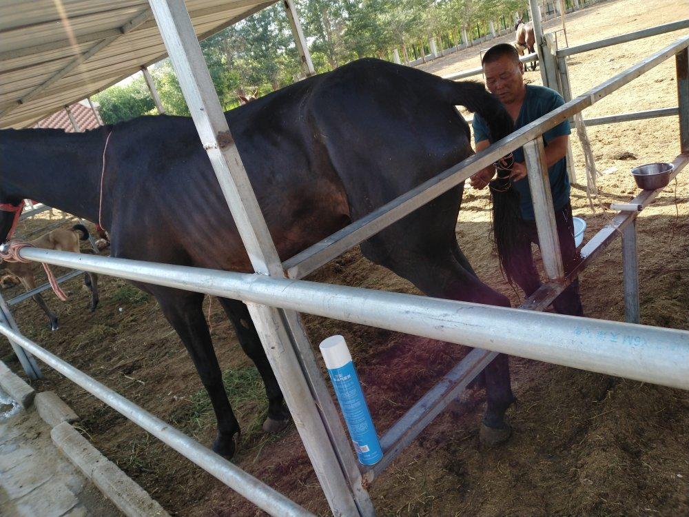 手术治疗一匹种马直肠、阴道破裂