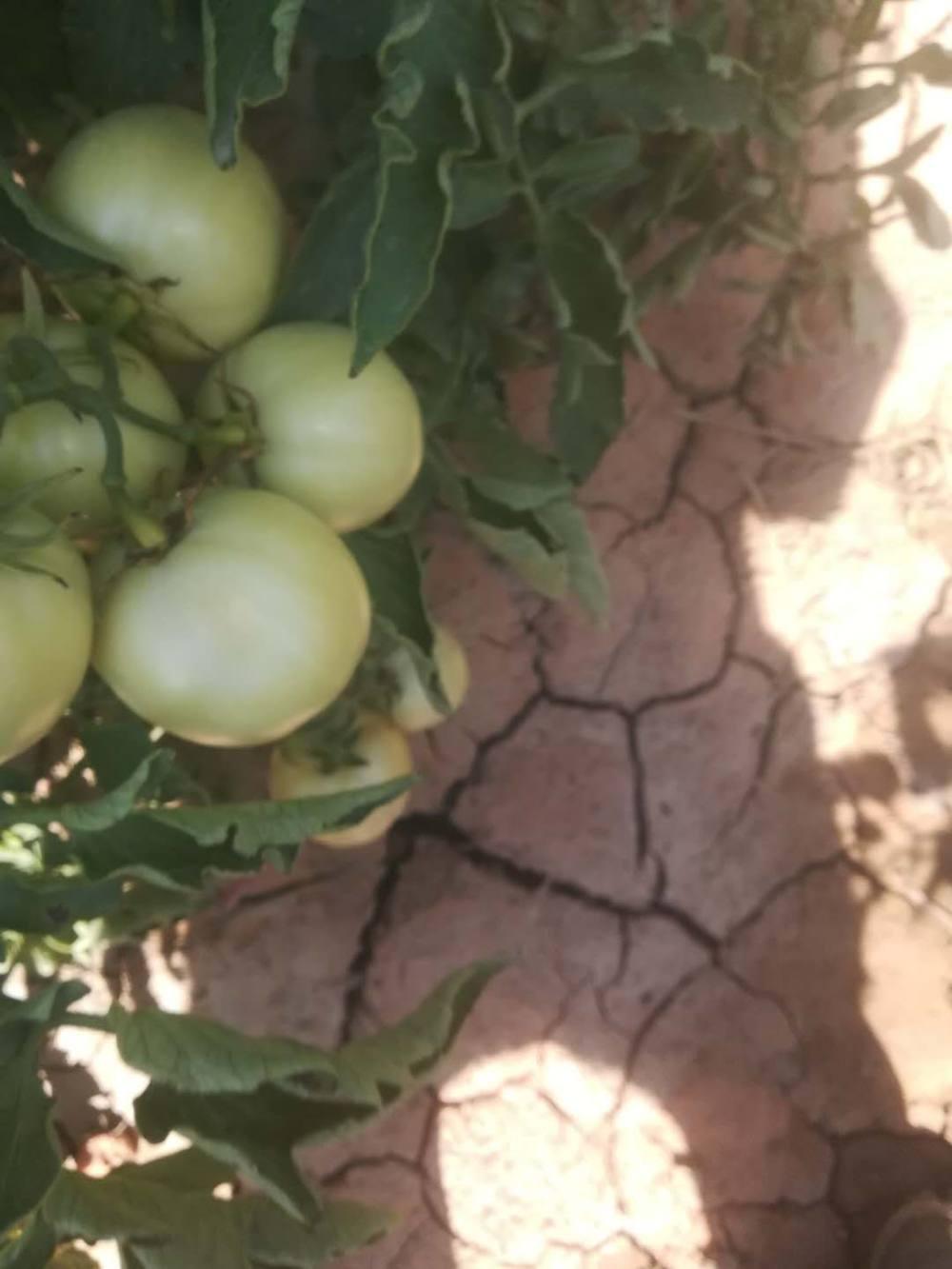 西红柿病害防治?