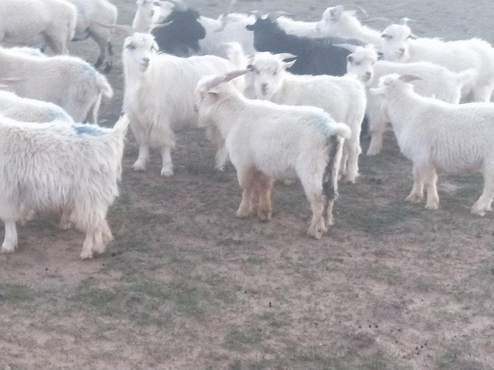 卖山羊羔子