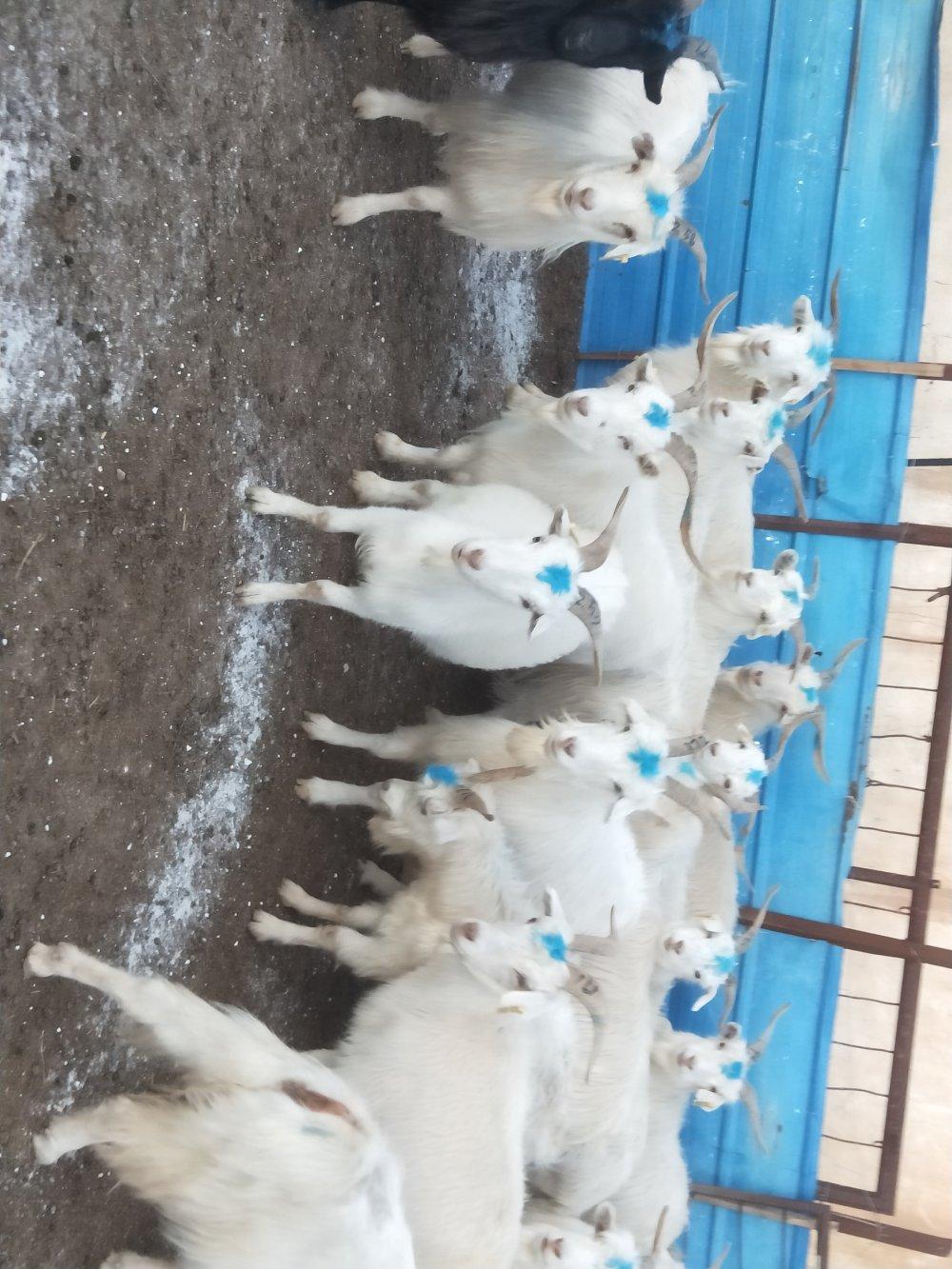 出售母山羊