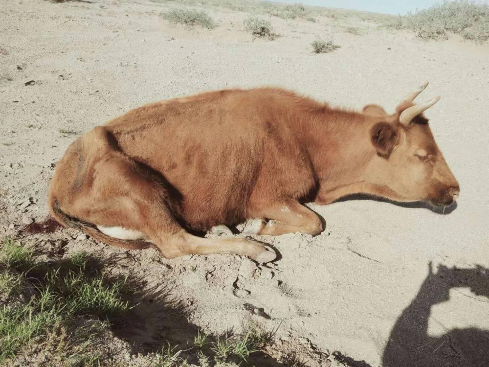 牛不肯吃,消瘦,急宰后胃内取出许多异物,什么病,其它牛咋防治?