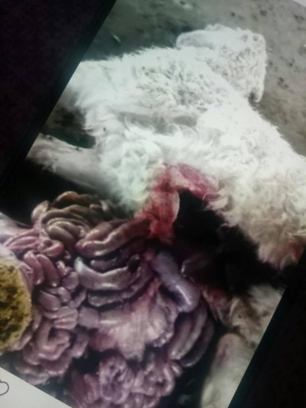 羊突然死亡